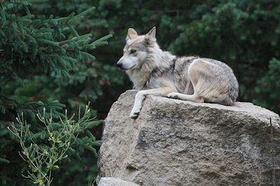 Il lupo grigio messicano