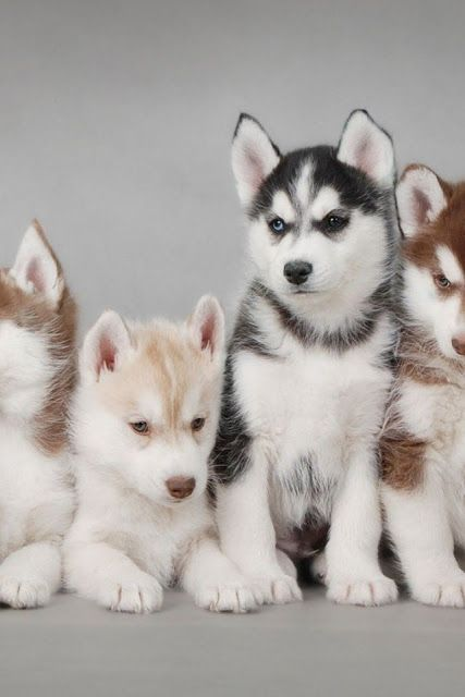 Adorable cute Husky puppies sitting together... click on picture to see more