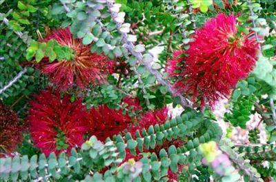 Melaleuca elliptica • Australian Native Plants • Plants • 800.701.6517