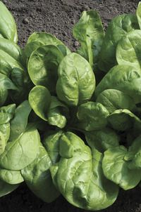 Image of Regiment Organic Spinach