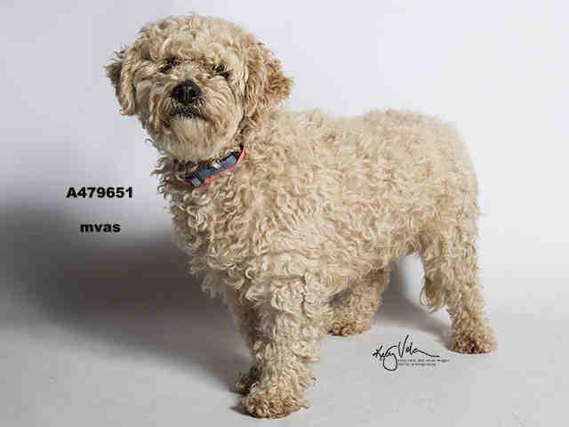 Poodle (Miniature) dog for Adoption in Moreno Valley, CA. ADN-712437 on PuppyFinder.com Gender: Female. Age: Senior