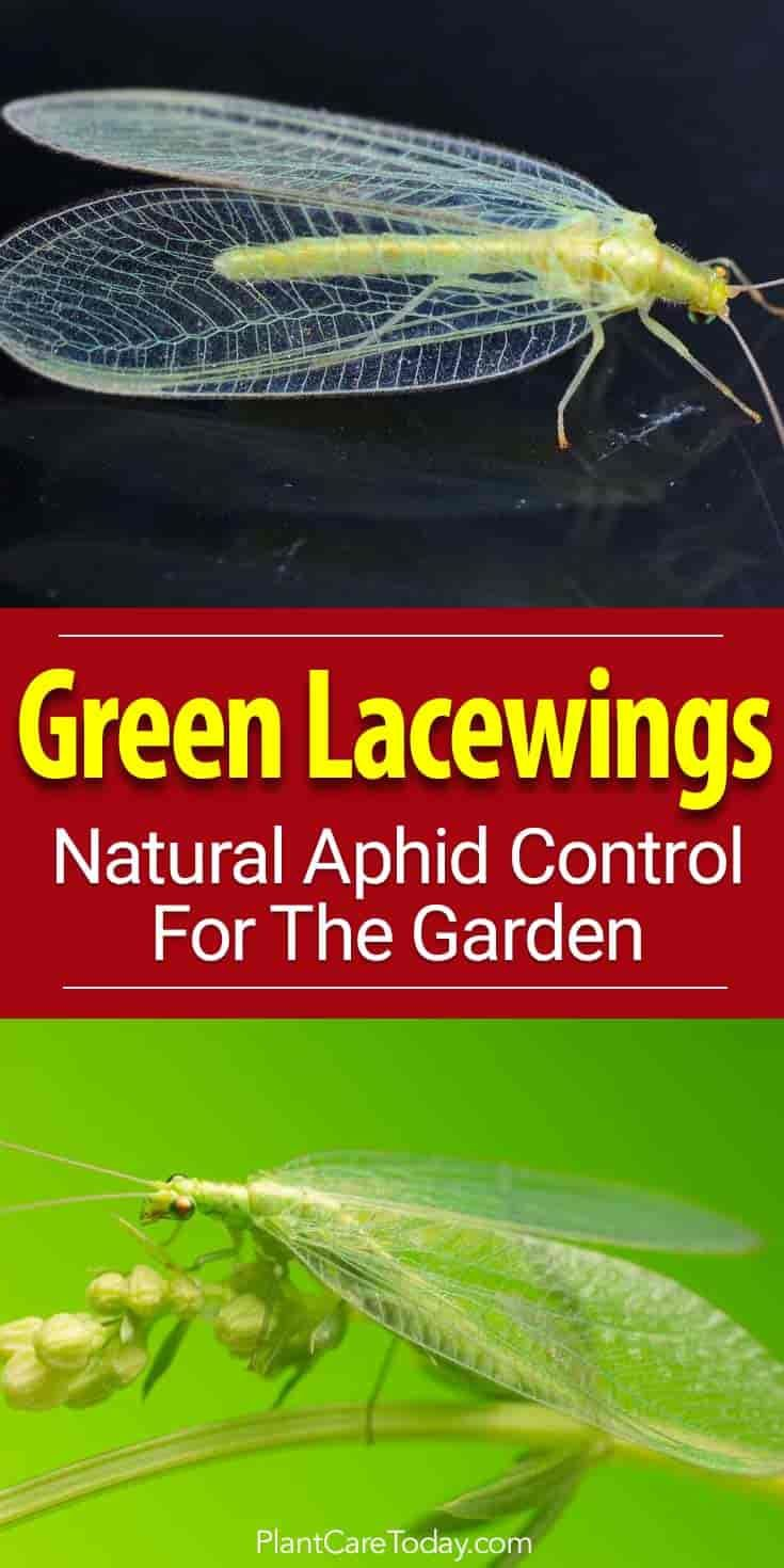 Green Lacewing are efficient natural predators perfect for aphid control. In the larval stage, these ferocious predators devour many harmful pest insects.