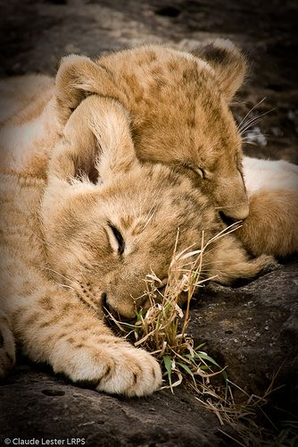 Sweet Dreams - lion cubs