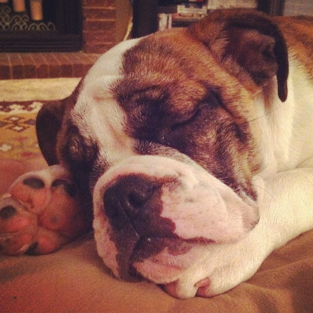 Ine just a seepy little baby girl. Surgery has worn me out. #bulldog #englishbulldog #englishbulldogpuppy #bulldogpuppy #puppy #dog #puppiesofinstagram #dogsofinstagram #bulldogsofinstagram #babybulldog #instapet #petstagram #sweetgirl #rolls #bully #bullytroopscrew #squishyface #squishyfacecrew #instabulldog #babygirl #weloveourdog #sleepypuppy #english #bulldog #pics