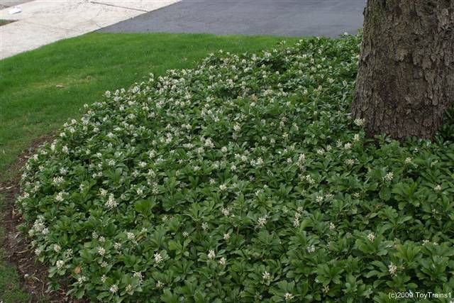 pachysandra, ground cover plant that loves shade and growing under trees.