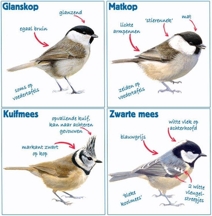 Nationale Tuinvogeltelling 2016 | Glanskop (Marsh Tit), Matkop (Willow Tit), Kuifmees (Crested Tit), Zwarte Mees (Tit).