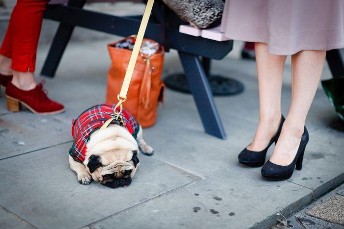 Sleeping FashionistaFashion Shoes, Awesome Pics, Fashion Pugs, Kris Atoms, Puggies Wuggi, Tartan Pugs, Bulldogge Fashion, Pugs Life, Animal