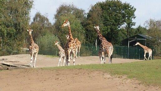 Rothschild giraffen