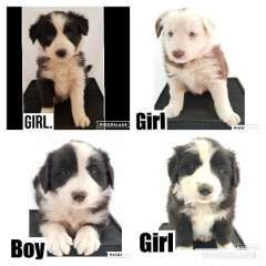 Pure Bred Border Collies Border Collie Puppies For Sale