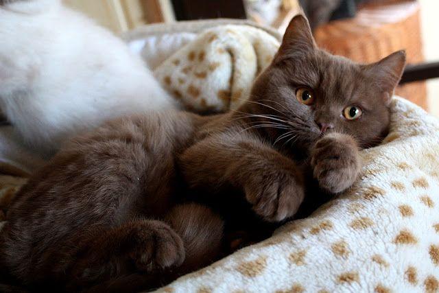 Britisch Kurzhaar (BKH) Kitten und Britisch Langhaar Katzenbabys: Dezember 2011