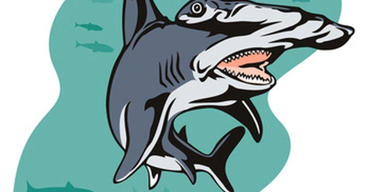 El ciclo de vida del tiburón martillo. Hay nueve especies de tiburón martillo y habitan en los océanos de todo el mundo. Este tiburón puede identificarse fácilmente por la forma particular de su cabeza, que le permite cazar a sus presas con gran eficiencia dado que sus ojos están más distanciados que los del resto de los tiburones.