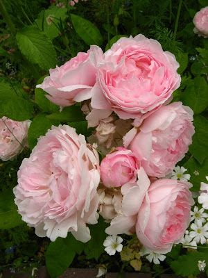 """'Redoute' - """"The fragrance is of a light Old Rose character, with a hint of honey and almond."""""""