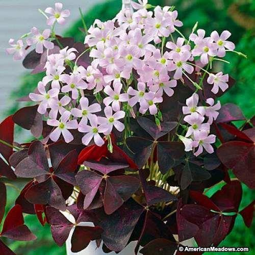 Pink Purple Shamrock Bulbs, Oxalis triangularis, Purple Shamrock or Wood Sorrel