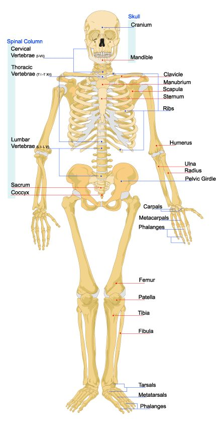 how many ribs do we have - google-søk | anatomy | pinterest | anatomy, Human Body