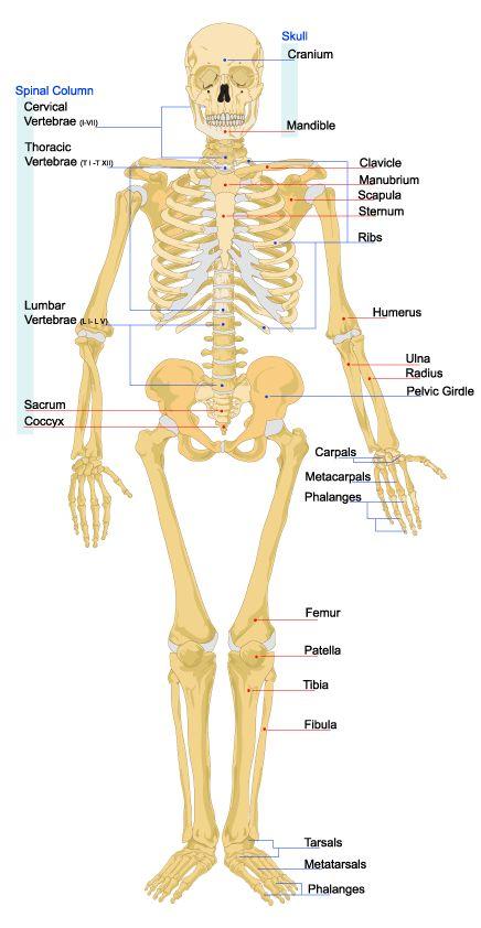 how many ribs do we have - google-søk | anatomy | pinterest | ribs, Human Body