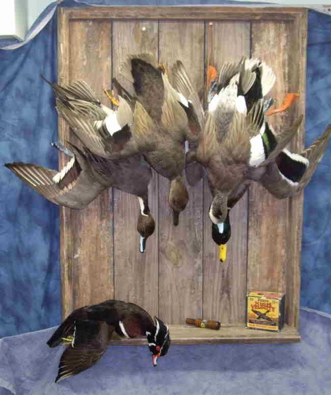 Ducks Unlimited Home Decor: Dead Mount Duck Taxidermy