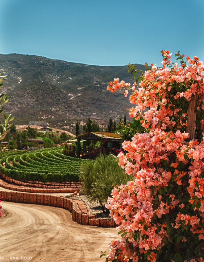 The Valle de Guadalupe in Baja California, Mexico. It's Old Mexico's enchanted wine country.