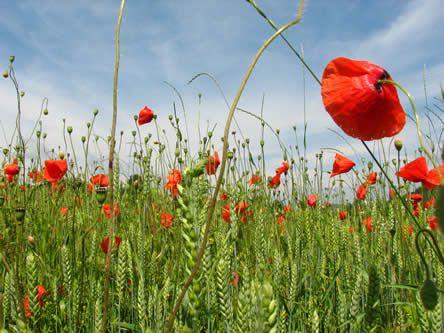 Aanleg van een bloemenweide - bloemenweide zaaien als bloemenakker