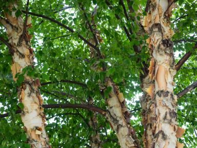 If You Have Wet Soil, Consider Planting a River Birch (Betula nigra)