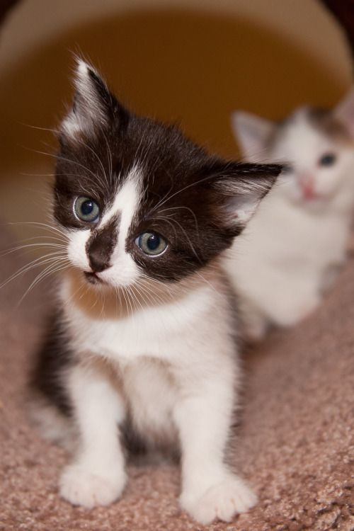 Magical Meow magical-meow: \\tKittens week 5-Vesta and Athena...