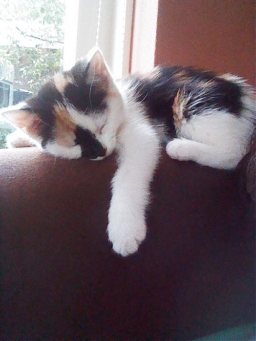 innocent nap...looks so much like my kitten :)