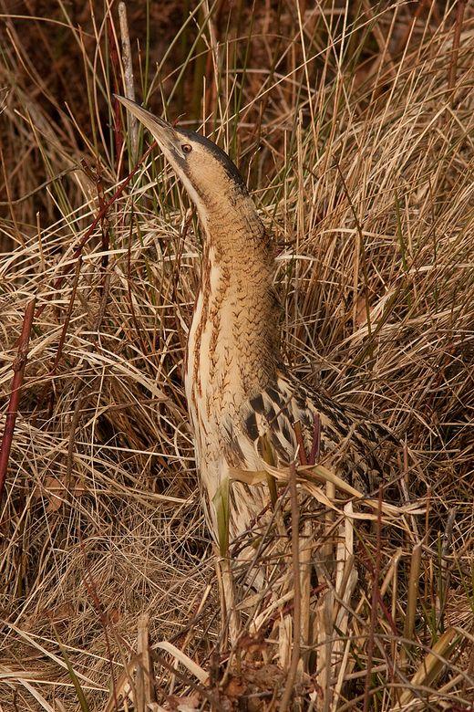 Camouflage - - The American Bittern (Botaurus lentiginosus) is protected under the United States Migratory Bird Treaty Act of 1918.