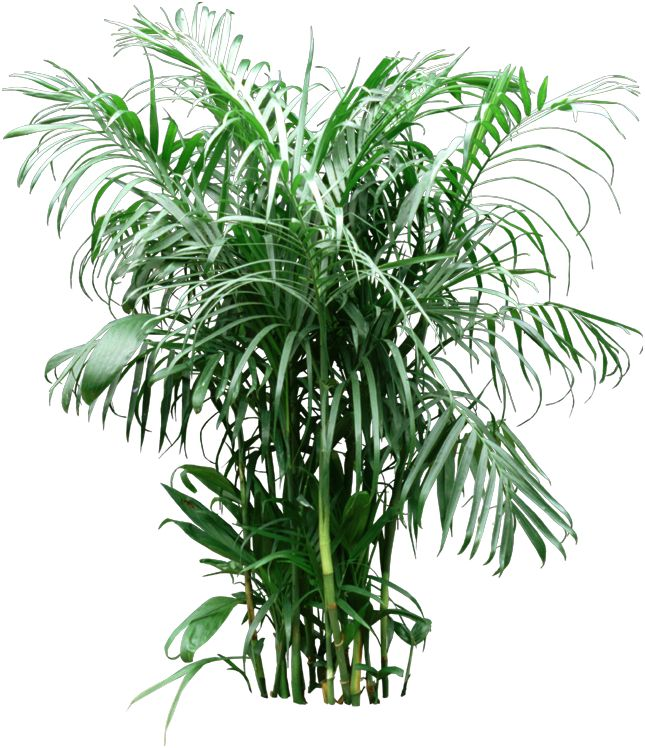 17 best ideas about bamboo palm on pinterest humidifier air cleaning plants and palm house plants. Black Bedroom Furniture Sets. Home Design Ideas