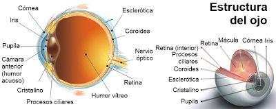 estructura del ojo humano sin nombres - Buscar con Google