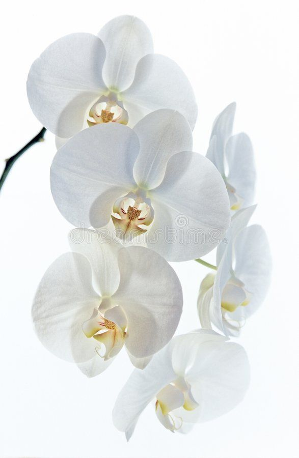 White Orchids A Stem Of Soft White And Yellow Orchids Ad Stem Orchids White Soft Orchids Ad In 2020 Beautiful Orchids Phalaenopsis Orchid Orchids