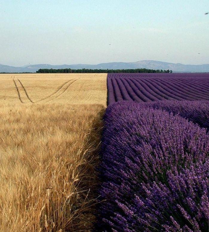 Un champ de lavande en fleurs et un champ de blé, côte à côte