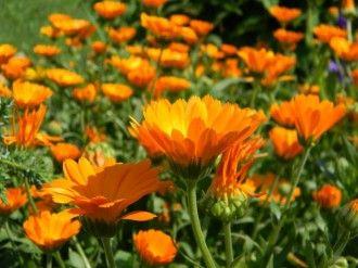 Leacuri cu gălbenele | Articole | Click pentru femei!