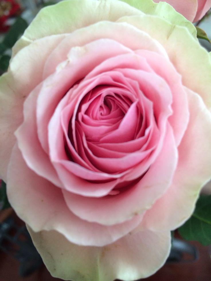So sweet rose, love spring!!!