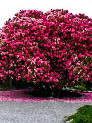 Декоративные лиственные деревья и кустарники с фото и названиями, красивые цветущие кустарники