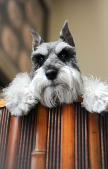 Schnauzers...so cute. Looks like my baby, Beau when he was younger!
