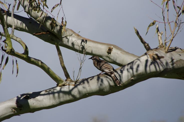 Honey eater blends into the colors of a gum tree