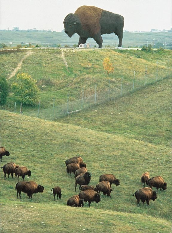 World's largest buffalo in North Dakota is found overlooking inhabited pasture land above Jamestown, ND.