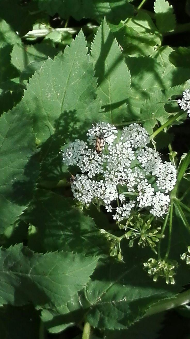 Tesařík dvoupásovaný (Rhagium bifasciatum) Růdník