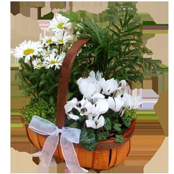 This beautiful planted basket contains a mix of seasonal white flowering and foliage plants.