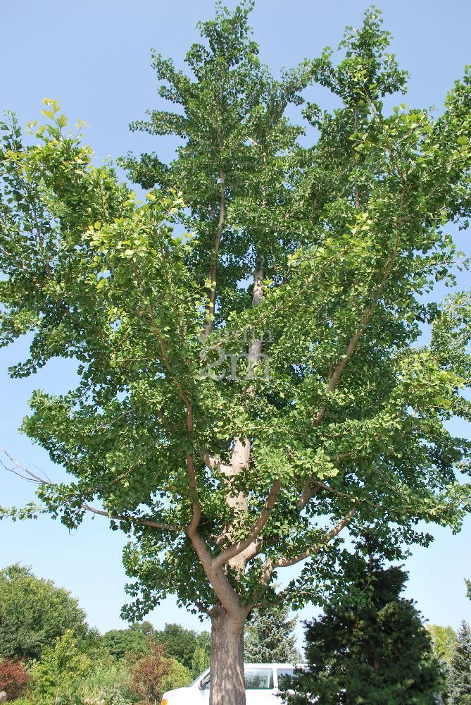 arbre aux Quarante Ecus / Maidenhair Tree - Photo
