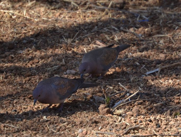 Feral Pigeon at Sondela