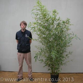 Golden Bamboo (Phyllostachys aurea): 4-5m max height.