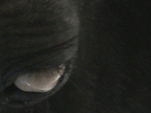 Quand l'animal devient aveugle : l'oedème cornéen