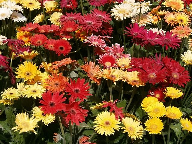 Lovely gerbera daisies and a post on Bubblews. Read more.
