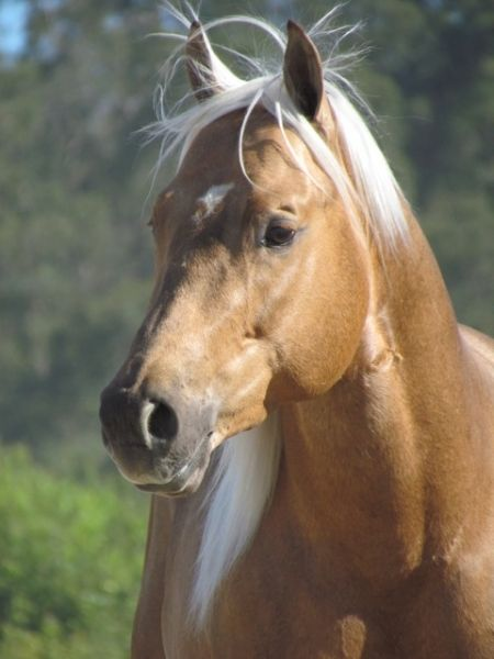 SONNY ASSETS, American Quarter Horse Stallion in California | Appaloosa Horses for Sale