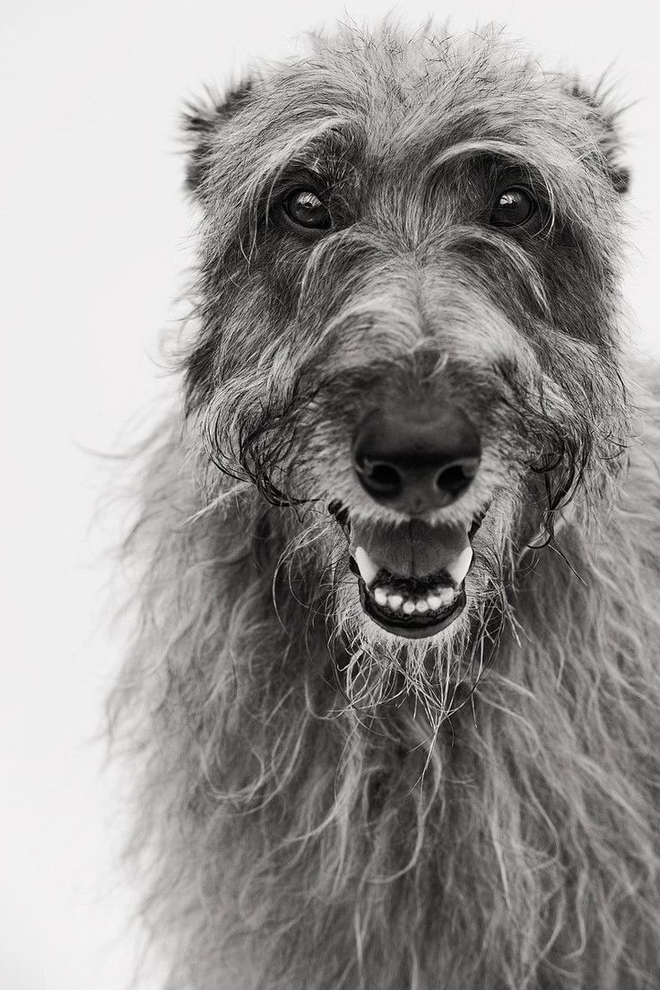 Oberon , faithful hound of Atticus, loves French poodles (the iron Druid chronicles)
