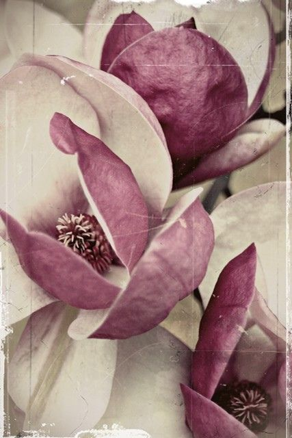"Plum blushed magnolias. ""Just living is not enough... one must have sunshine, freedom, and a little flower."" Hans Christian Andersen"