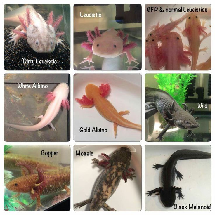 Different Coloring In Axolotls