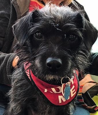2-21-18, Rescue from the Hart group, Kenny, a Terrier (Small) for adoption in Van Nuys, CA, good with cats, dogs & well mannered kids.