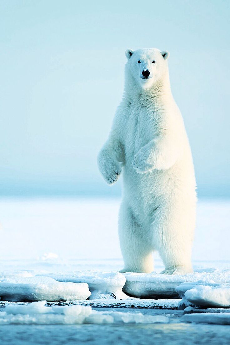 The majestic #polarbea...
