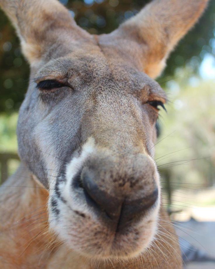 Before... Let me take a selfie #currumbinwildlifesanctuary #australia #visitgoldcoast #kangaroo #selfie by ivi_lee http://ift.tt/1X9mXhV